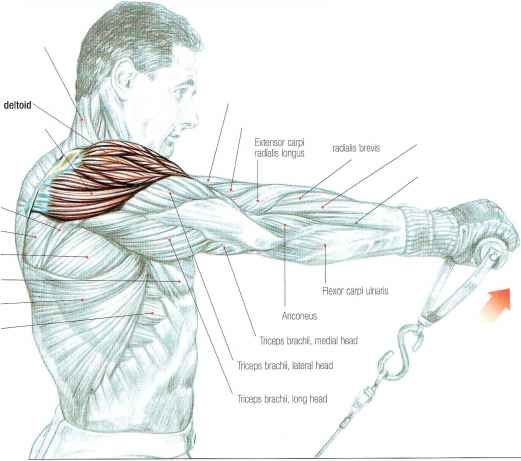 Brachialis Pain Middle Arm