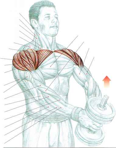 Middle Deltoid