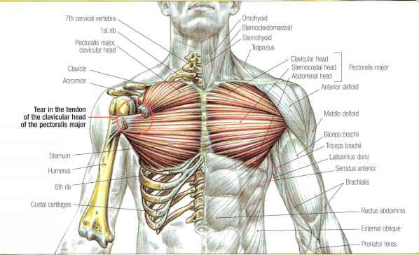 Pectoralis Major Ribs