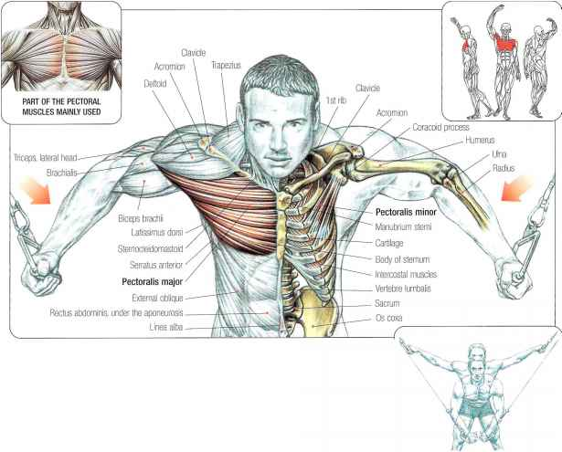 Cable crossover flys - Abdominal Muscles