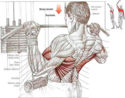 chinups - abdominal muscles - fitness vip, Human Body