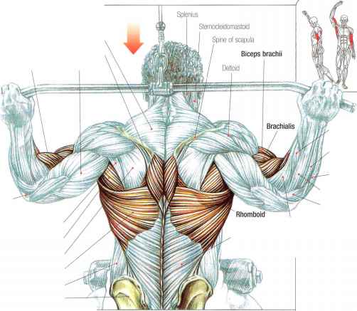 Back lat pulldowns - Abdominal Muscles - Fitness VIP