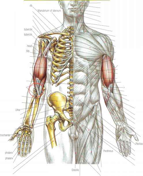 Latissimus Dorsi Bicep Problems