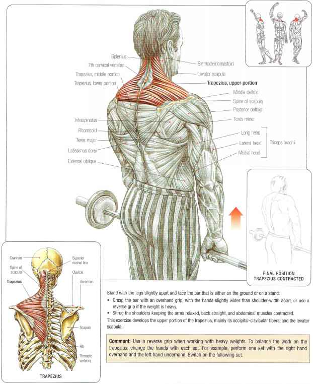 Barbell shris - Abdominal Muscles - Fitness VIP