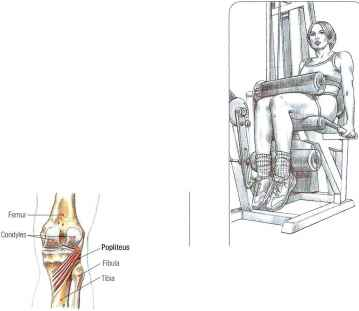 Posterior Muscles The Knee Joint