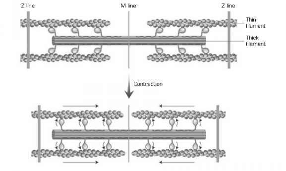 Myosin Actin Interaction Cardiac Muscle