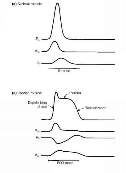 Cardiac Action Potential Time