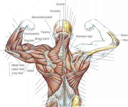 Latissimus Dorsi And Teres Major