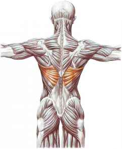 Chest And Abdominal Muscles