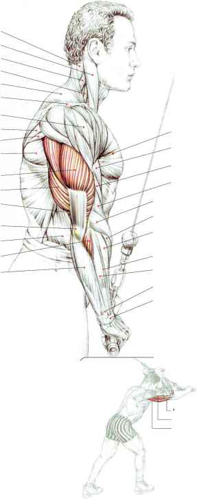 Triceps Brachii Long Medial Lateral Head