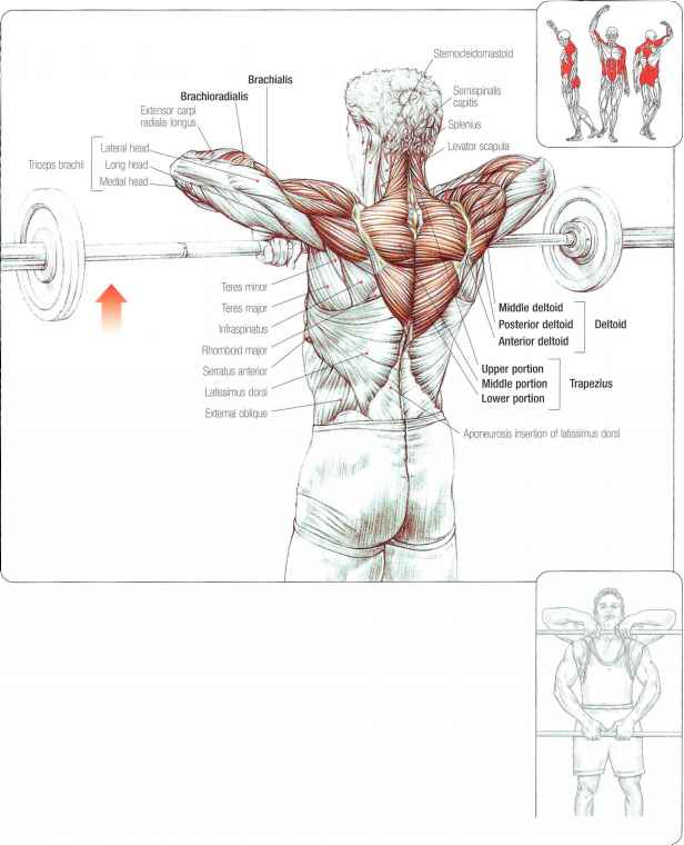Abdomina Muscles