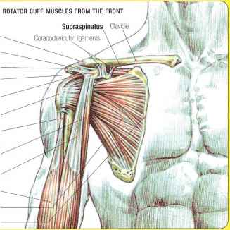 Coracoclavicular Muscle