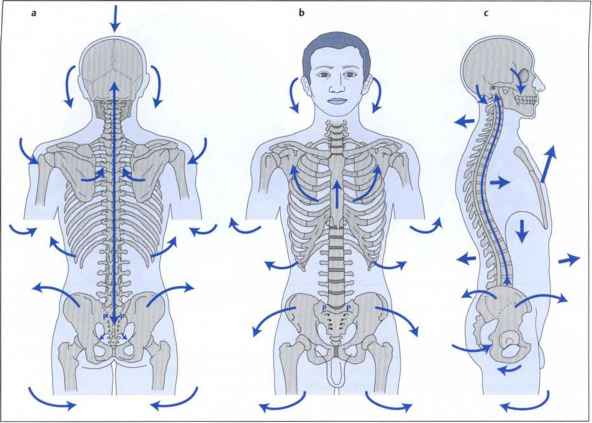 Busquet Muscular Chains