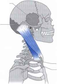 Sternocleidomastoid Muscle Attaches